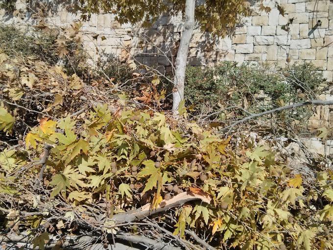 ראו את העלים, רעם ביום בהיר ושלג על עלים שטרם נשרו - נזק שלא ניתן להתכונן אליו